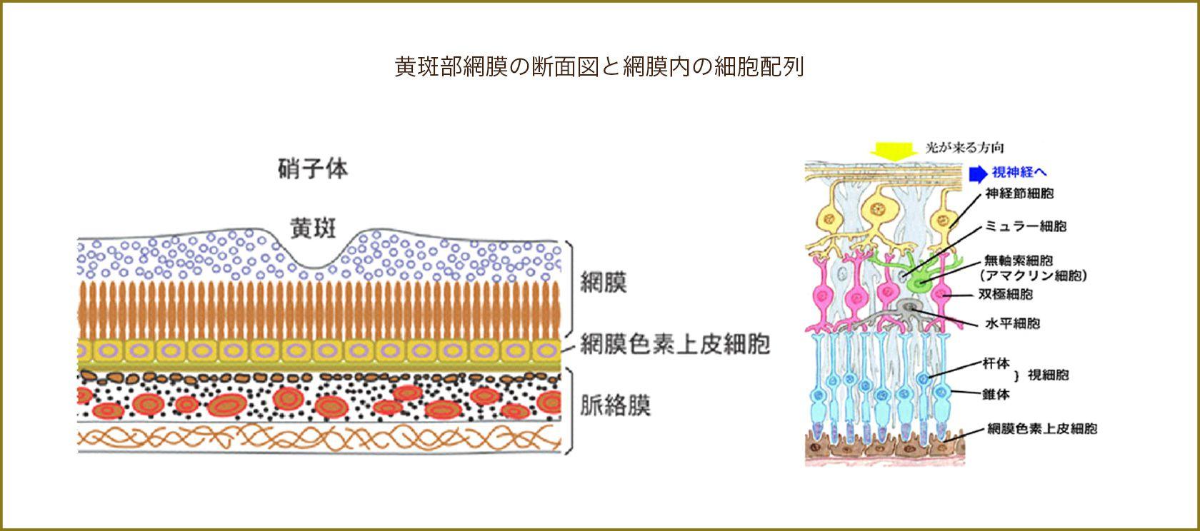 黄斑部網膜の断面図と網膜内の細胞配列