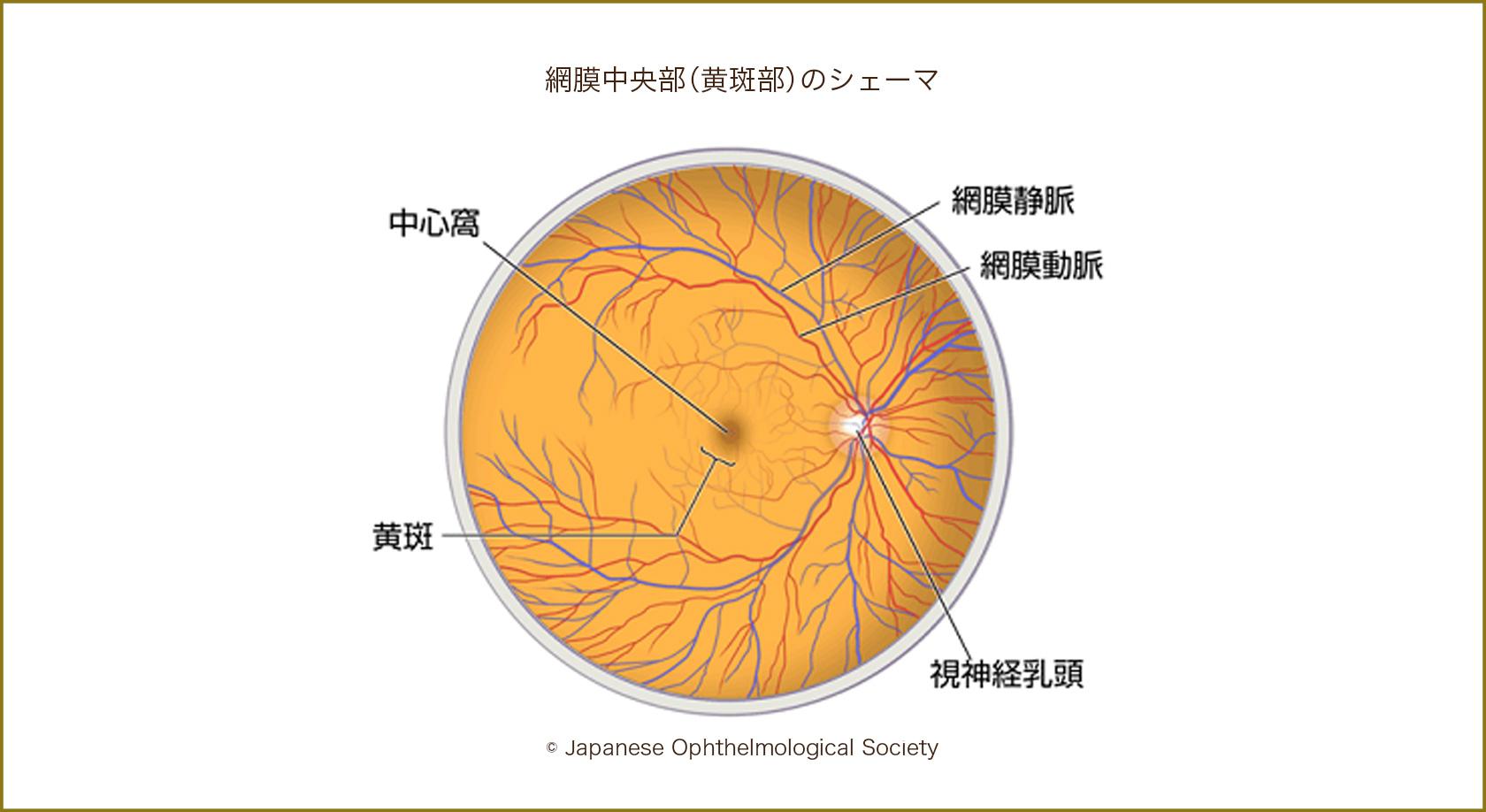 網膜中央部(黄斑部)のシェーマ